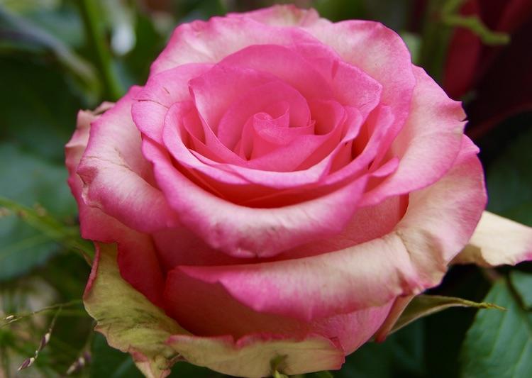 ecuador rozen bloembinderij Mulder